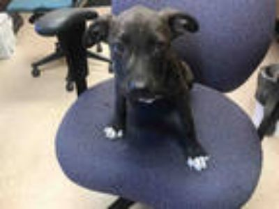 Adopt ALEXA* a Brindle American Pit Bull Terrier / Mixed dog in Garland