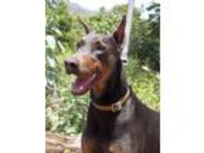 Adopt Smokey a Gray/Blue/Silver/Salt & Pepper Doberman Pinscher / Mixed dog in