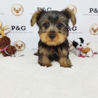 Yorkshire Terrier PUPPY FOR SALE ADN-96439 - YORKSHIRE TERRIER KOBE MALE