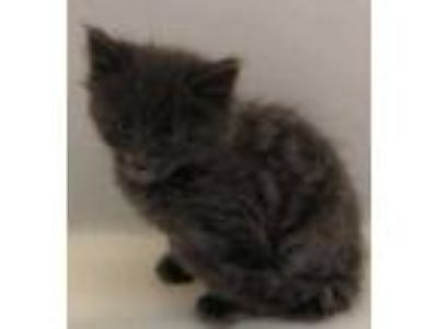 Adopt Blake a Gray or Blue Domestic Longhair / Domestic Shorthair / Mixed cat in