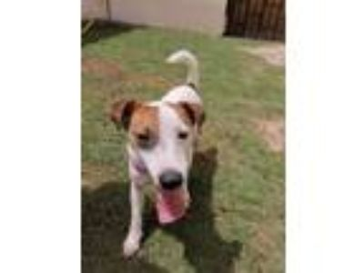 Adopt Archie a White - with Brown or Chocolate Jack Russell Terrier / Mixed dog