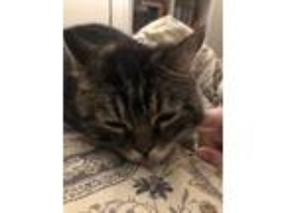 Adopt Basil a Brown Tabby American Shorthair cat in Tampa, FL (25346276)