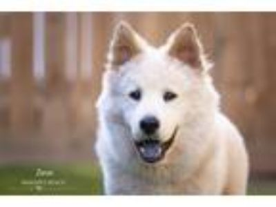 Adopt Zeus a White - with Tan, Yellow or Fawn Chow Chow / Blue Heeler / Mixed