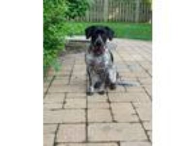 Adopt Auggie a Black - with Gray or Silver German Shorthaired Pointer / Mixed