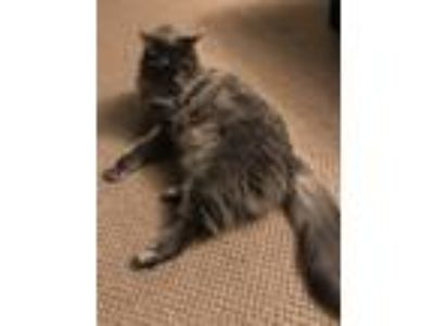 Adopt Cleo a Gray or Blue Domestic Longhair / Mixed cat in Seattle