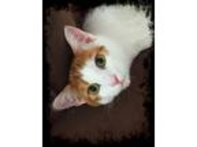 Adopt Pecan a White (Mostly) Domestic Shorthair (short coat) cat in Winston