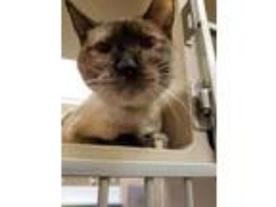 Adopt Angie a Siamese, Domestic Short Hair