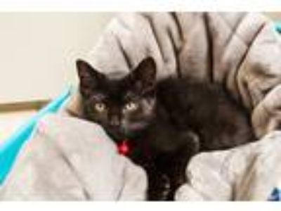 Adopt Dixie a All Black Domestic Shorthair (short coat) cat in Frisco