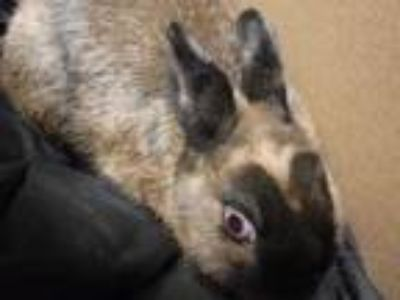 Adopt Carrots a Chocolate American / Mixed rabbit in Honolulu, HI (25104206)