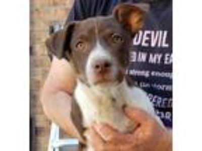 Adopt Isabelle a Brown/Chocolate Beagle / Hound (Unknown Type) / Mixed dog in