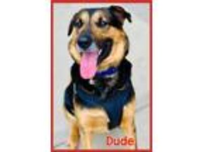 Adopt Dude a Brown/Chocolate - with Tan German Shepherd Dog / Coonhound / Mixed