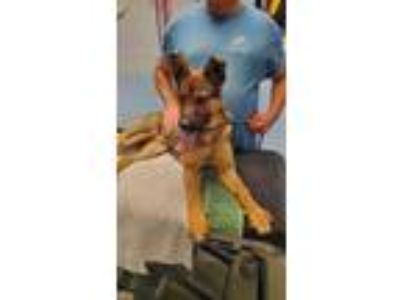 Adopt Rocki a German Shepherd Dog, Belgian Shepherd / Malinois