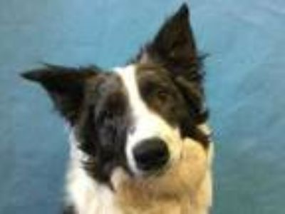 Adopt Goose a Gray/Blue/Silver/Salt & Pepper Border Collie / Mixed dog in Golden