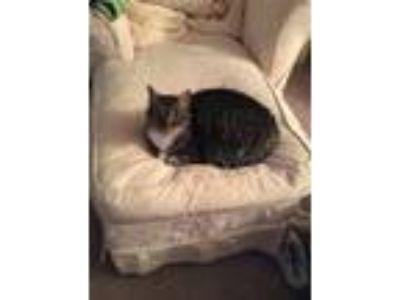 Adopt Joy a Gray, Blue or Silver Tabby Domestic Shorthair (short coat) cat in