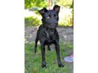 Adopt Little Man a Black Labrador Retriever / Mixed dog in Midlothian