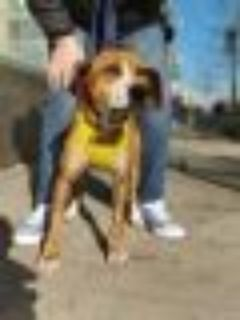 GINGER Boxer - Beagle Dog