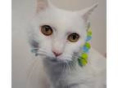Adopt DOREEN - FRNT-DECLAWED & SWEET a White Domestic Shorthair (short coat) cat