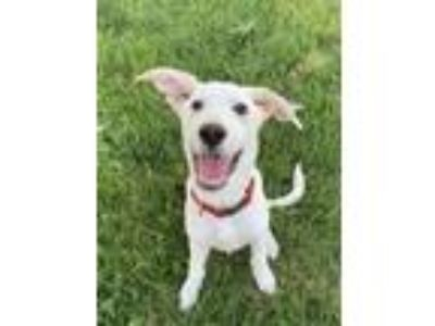 Adopt Charlie a White Labrador Retriever / Mixed dog in Fenton, MO (25879397)