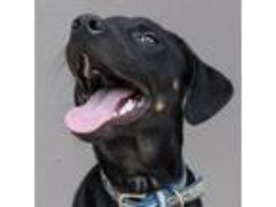 Adopt Bernie a Black Catahoula Leopard Dog / Retriever (Unknown Type) / Mixed