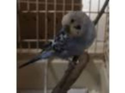Adopt Blue Boy a Parakeet (Other)