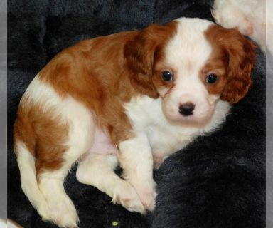 Cavalier King Charles Spaniel PUPPY FOR SALE ADN-127659 - AKC Spring 2019 Puppies have arrived