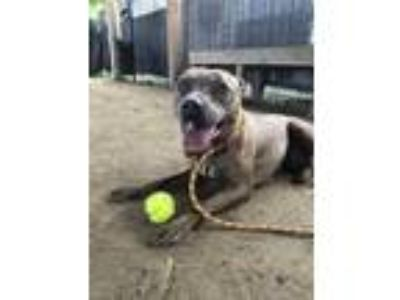 Adopt Willow a Brown/Chocolate American Pit Bull Terrier / Mixed dog in