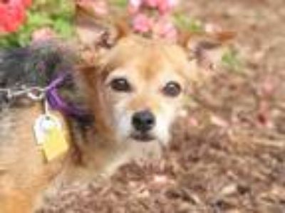 Adopt REESE a Black - with Brown, Red, Golden, Orange or Chestnut Rat Terrier /