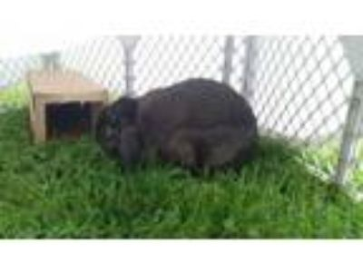 Adopt Honey a Mini Lop