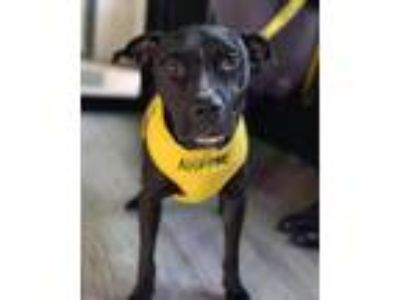 Adopt Hamlet a Black - with White Pit Bull Terrier / Labrador Retriever / Mixed