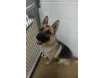 Adopt Cabete a Tan/Yellow/Fawn German Shepherd Dog / Mixed dog in Corvallis