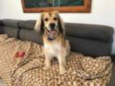 Adopt Rudy a Tan/Yellow/Fawn Spaniel (Unknown Type) / Mixed dog in Fairfax