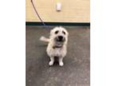 Adopt Bruno a Tan/Yellow/Fawn Border Terrier / Terrier (Unknown Type