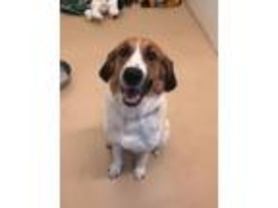 Adopt Mabel - Chino Hills a Tricolor (Tan/Brown & Black & White) Coonhound /