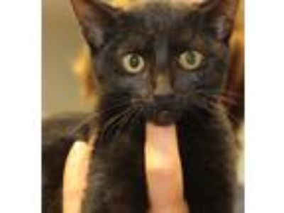 Adopt Mocha a All Black Domestic Mediumhair (medium coat) cat in Reeds Spring