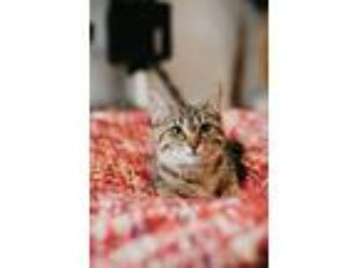 Adopt Venus a Domestic Short Hair, Tabby