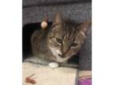 Adopt Mittens a Brown or Chocolate Domestic Shorthair / Domestic Shorthair /
