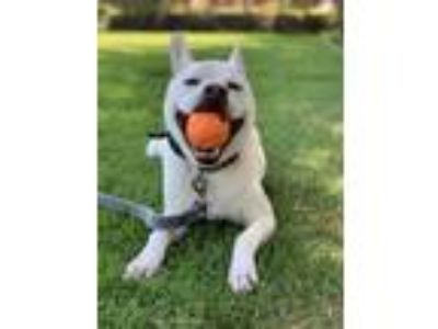 Adopt Bella a White Labrador Retriever / Mixed dog in Los Angeles, CA (25871248)