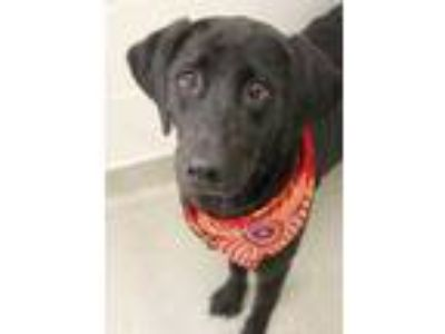Adopt Pheobe a Black Labrador Retriever / Mixed dog in Gulfport, MS (25908282)
