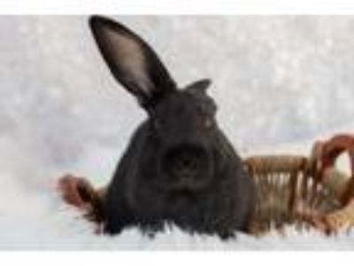 Adopt 190693 Wild Blackberry a Black Rex / Mixed rabbit in Wetumpka