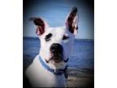 Adopt KING R a Great Dane, American Staffordshire Terrier