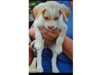 Adopt Sophie a Yellow Labrador Retriever, Mixed Breed