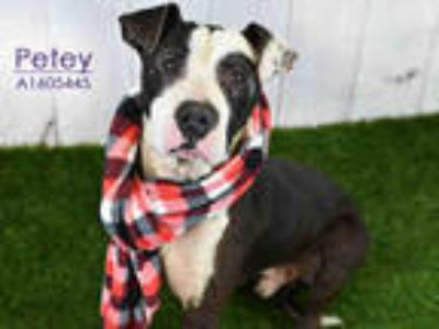 Adopt PETEY a Black - with White American Pit Bull Terrier / Mixed dog in