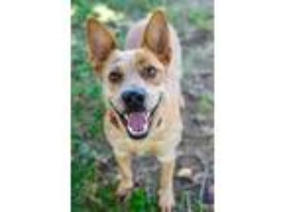 Adopt Diesel a Australian Cattle Dog / Blue Heeler