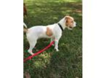 Adopt Jasper a Wirehaired Terrier, Fox Terrier
