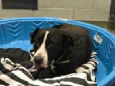 Adopt FOXY a Black - with White Labrador Retriever / Mixed dog in Dallas