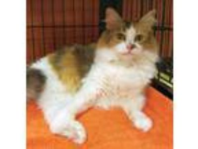 Adopt SALLY a Maine Coon
