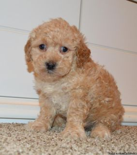 GOLDENDOODLE PUPPIES ( THE MOST LOVABLE AND INTELLIGENT CROSS )