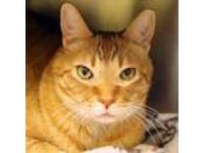 Adopt Max a Orange or Red Domestic Shorthair / Domestic Shorthair / Mixed cat in