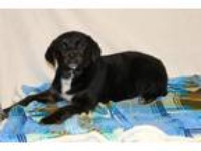 Adopt Crash a Labrador Retriever, Rottweiler