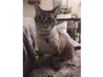 Adopt Pansa a Tan or Fawn Tabby Siamese / Mixed cat in Kenmore, WA (24623234)